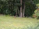 wild turkeys chasing the crows