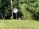 turkey inspecting our DISH