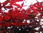 vivid leaves of the bloodgood maple