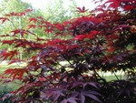 we heart our bloodgood maple