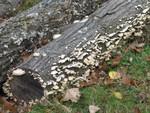 mushrooms on oak logs out front