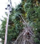 bittersweet vine climbing power pole haven eaten tree