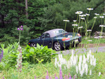 Boxster growing in the wildflowers