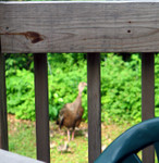 Turkey and chicks from deck