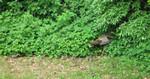 Wild Turkey and two dozen babies in the yard