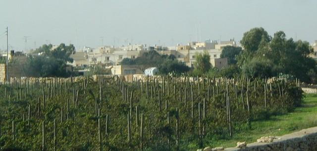 Maltese vineyards