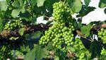 Chrysalis Vineyards, Middleburg, Virginia