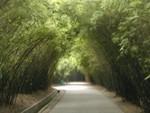 Arching bamboos line walkway