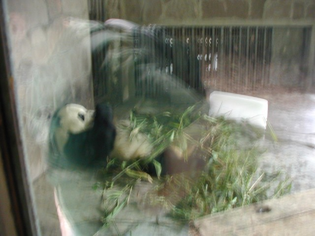 Giant Panda trying to cool down with a block of ice