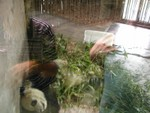 Giant panda behind the glass