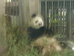 Happy dazed panda