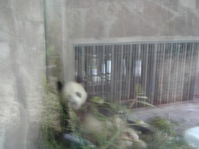 Giant panda in a breeding area
