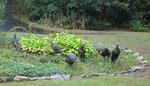 15-Sep-05 - Six Wild Turkeys in Fall