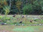 15-Sep-05 - Six Wild Turkeys snacking in the rain