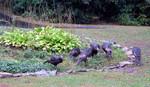 15-Sep-05 - six snacking wild turkeys