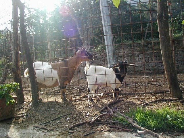 goats that our mozzeralla came from